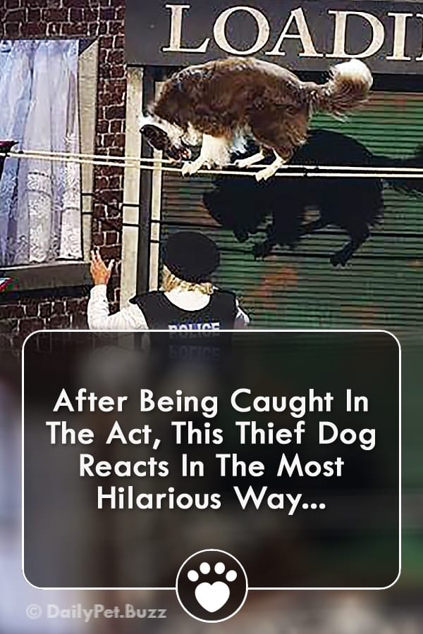 After Being Caught In The Act, This Thief Dog Reacts In The Most Hilarious Way...