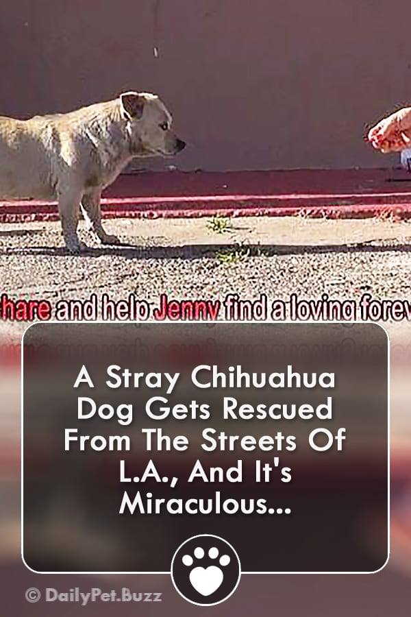 A Stray Chihuahua Dog Gets Rescued From The Streets Of L.A., And It\'s Miraculous...