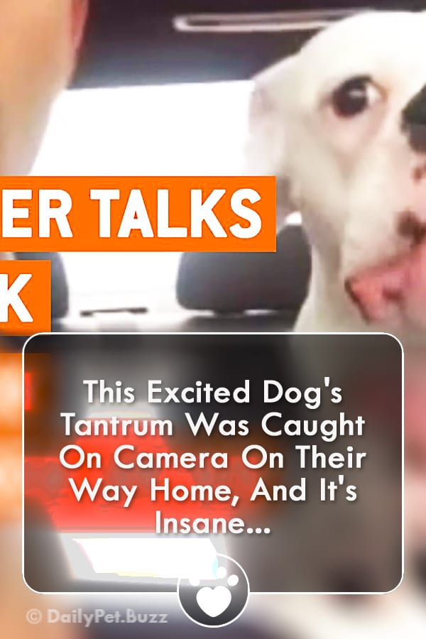 This Excited Dog\'s Tantrum Was Caught On Camera On Their Way Home, And It\'s Insane...