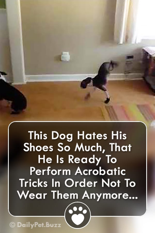 This Dog Hates His Shoes So Much, That He Is Ready To Perform Acrobatic Tricks In Order Not To Wear Them Anymore...