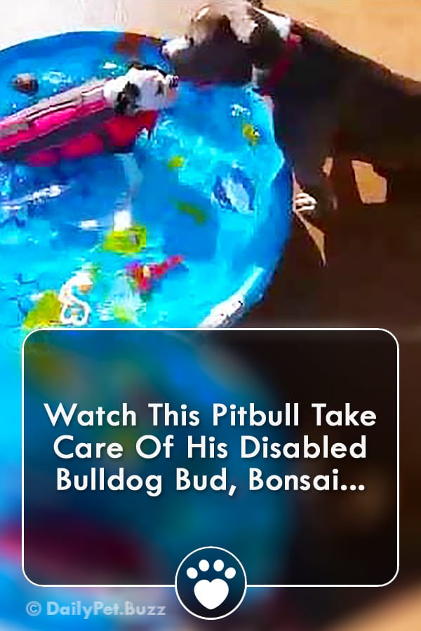 Watch This Pitbull Take Care Of His Disabled Bulldog Bud, Bonsai...