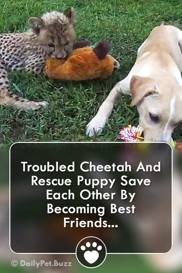 Troubled Cheetah And Rescue Puppy Save Each Other By Becoming Best Friends...