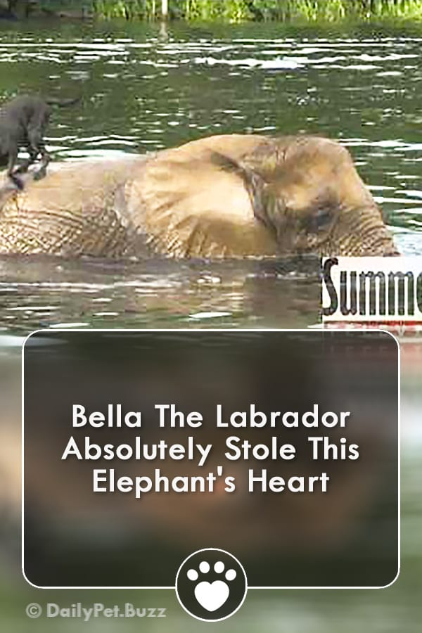 Bella The Labrador Absolutely Stole This Elephant\'s Heart