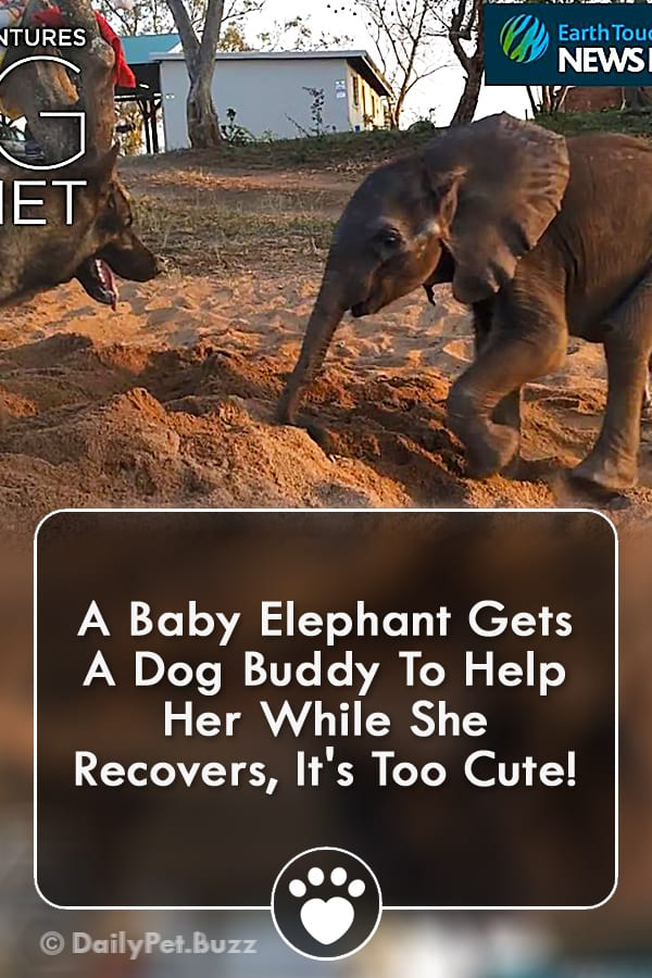 A Baby Elephant Gets A Dog Buddy To Help Her While She Recovers, It\'s Too Cute!