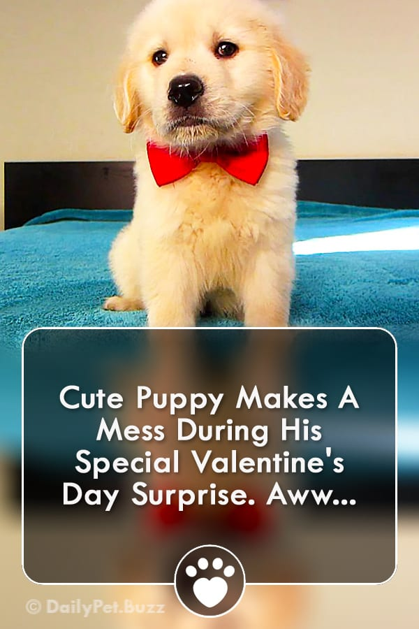 Cute Puppy Makes A Mess During His Special Valentine\'s Day Surprise. Aww...