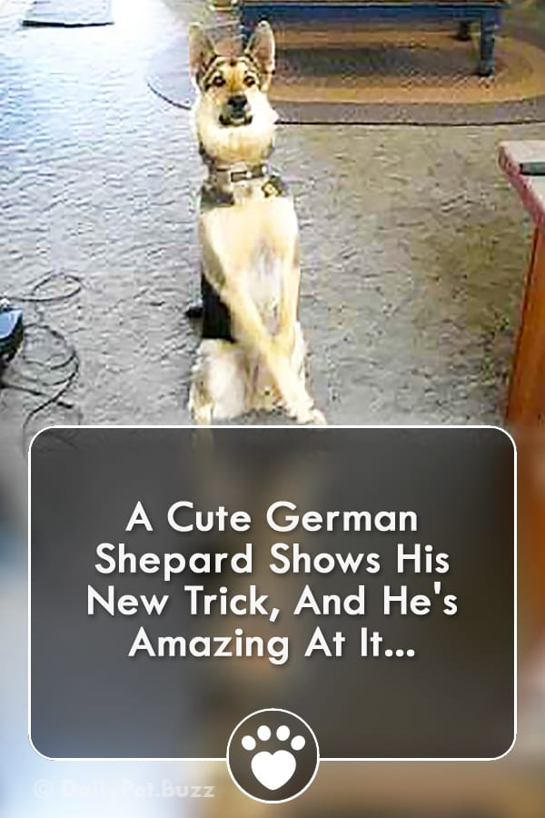 A Cute German Shepard Shows His New Trick, And He\'s Amazing At It...