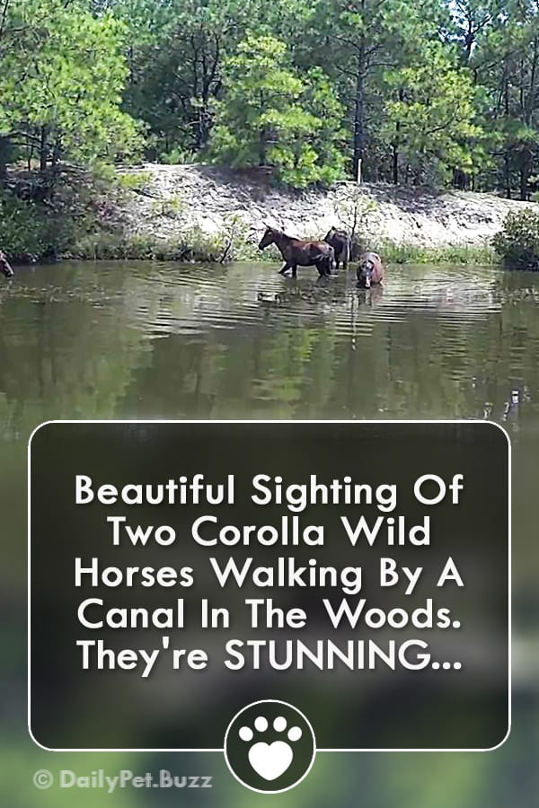 Beautiful Sighting Of Two Corolla Wild Horses Walking By A Canal In The Woods. They\'re STUNNING...