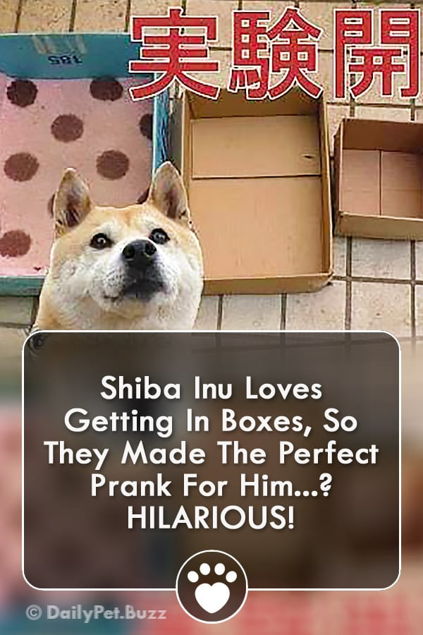 Shiba Inu Loves Getting In Boxes, So They Made The Perfect Prank For Him? HILARIOUS!