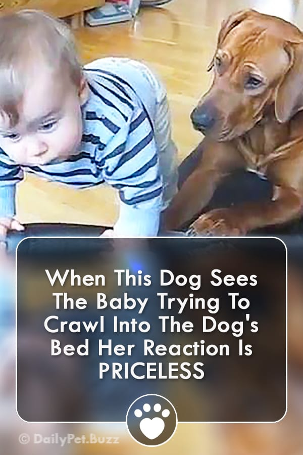 When This Dog Sees The Baby Trying To Crawl Into The Dog\'s Bed Her Reaction Is PRICELESS