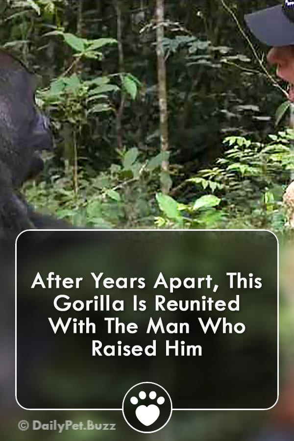 After Years Apart, This Gorilla Is Reunited With The Man Who Raised Him