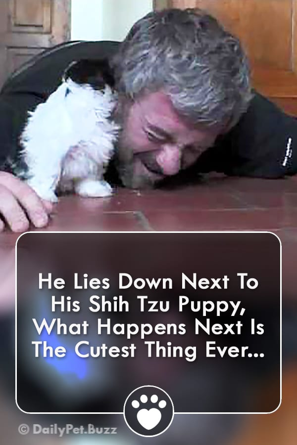He Lies Down Next To His Shih Tzu Puppy, What Happens Next Is The Cutest Thing Ever...