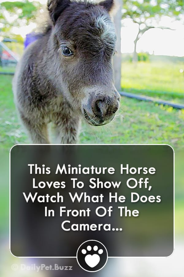 This Miniature Horse Loves To Show Off, Watch What He Does In Front Of The Camera...