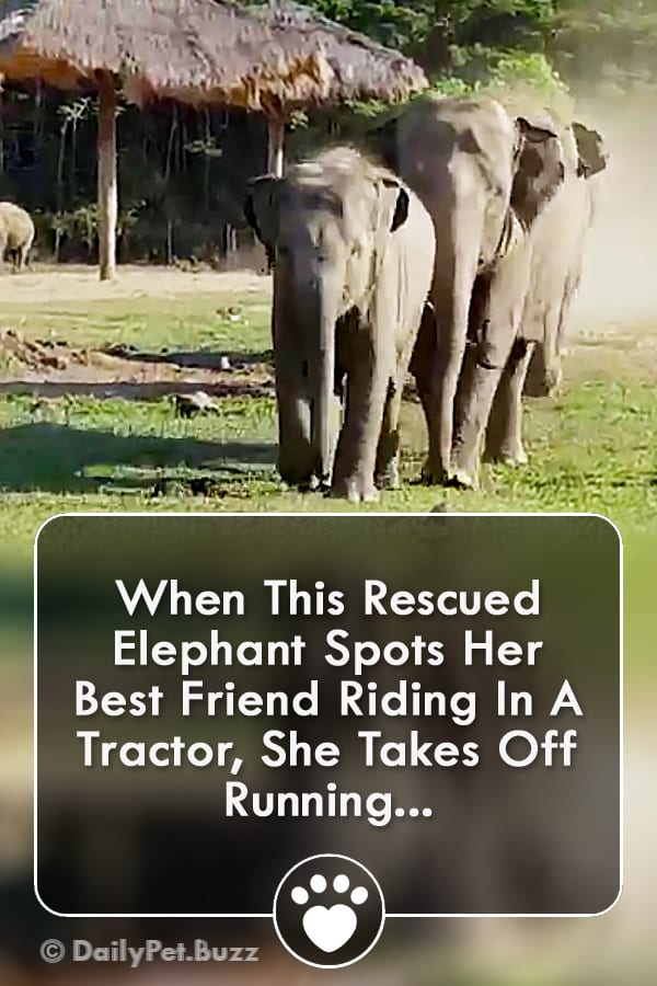 When This Rescued Elephant Spots Her Best Friend Riding In A Tractor, She Takes Off Running...