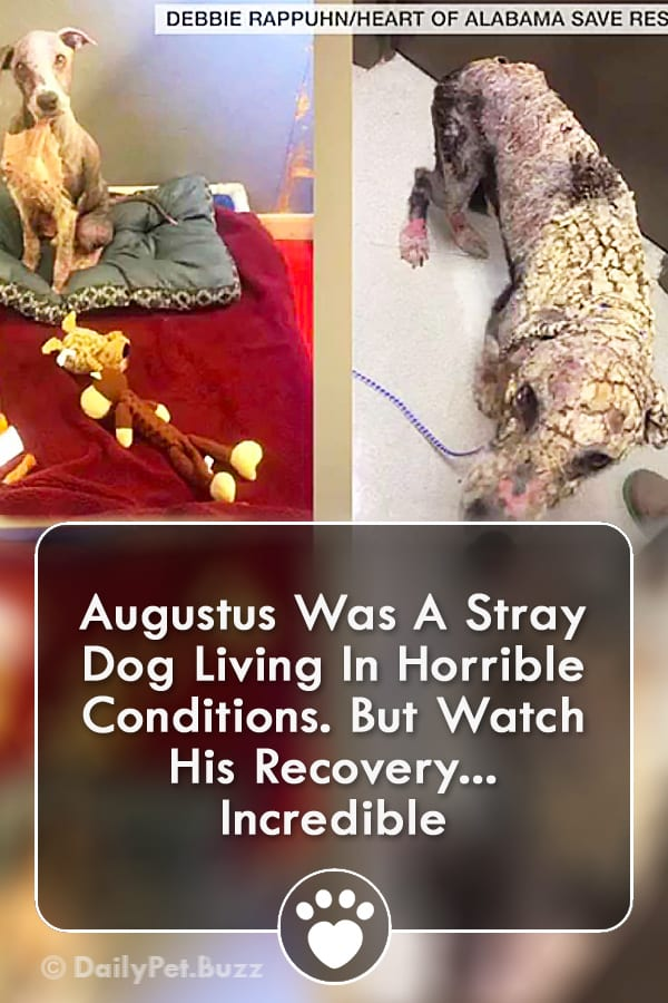 Augustus Was A Stray Dog Living In Horrible Conditions. But Watch His Recovery... Incredible