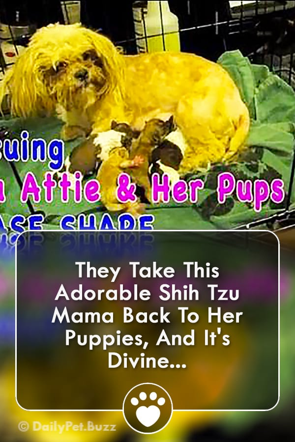 They Take This Adorable Shih Tzu Mama Back To Her Puppies, And It\'s Divine...
