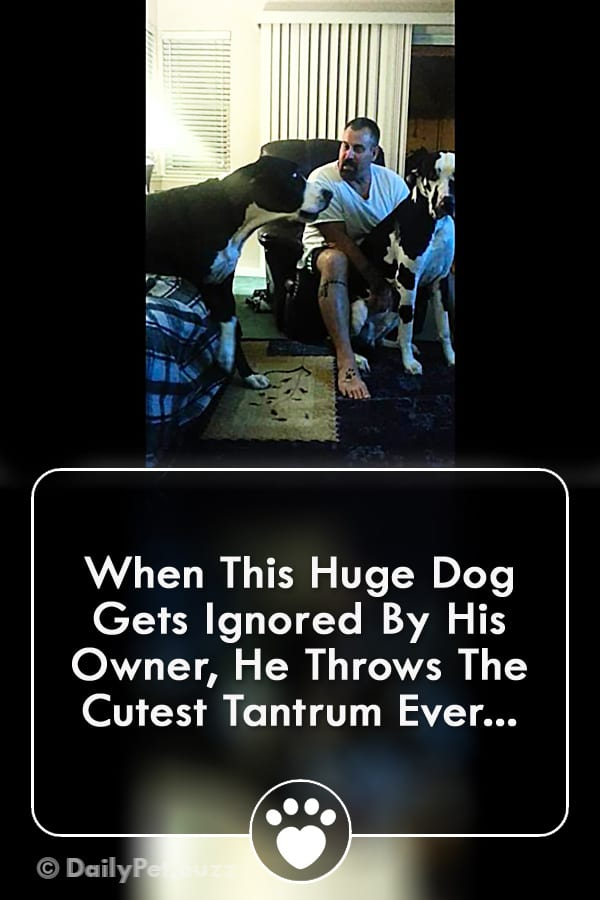 When This Huge Dog Gets Ignored By His Owner, He Throws The Cutest Tantrum Ever...