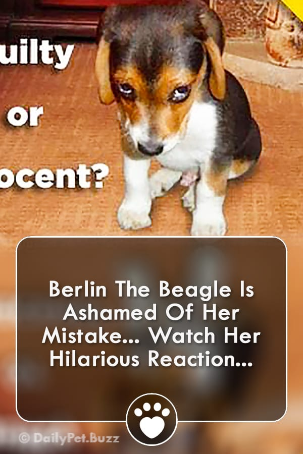 Berlin The Beagle Is Ashamed Of Her Mistake... Watch Her Hilarious Reaction...
