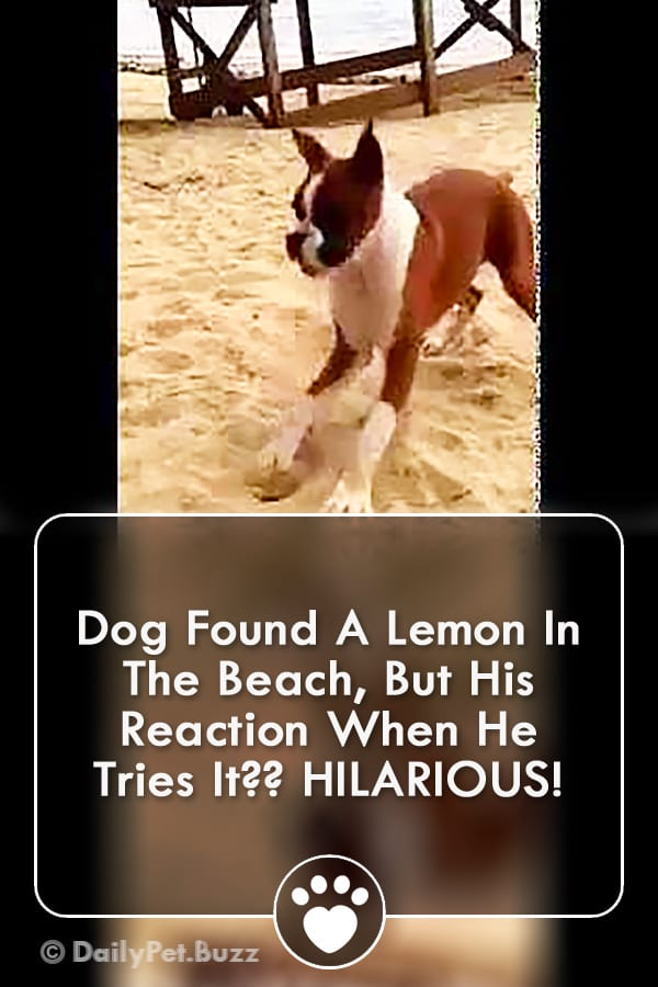 Dog Found A Lemon In The Beach, But His Reaction When He Tries It?? HILARIOUS!
