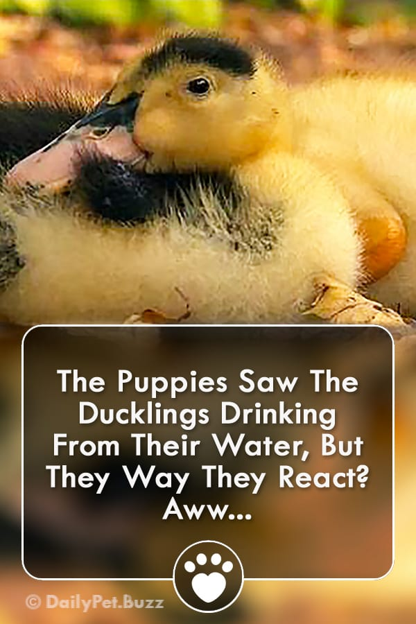 The Puppies Saw The Ducklings Drinking From Their Water, But They Way They React? Aww...