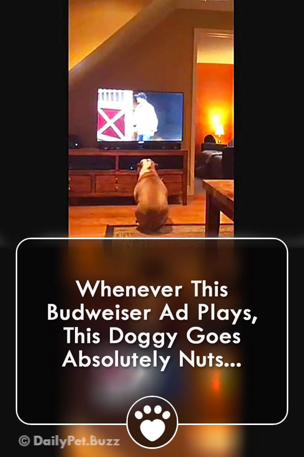 Whenever This Budweiser Ad Plays, This Doggy Goes Absolutely Nuts...