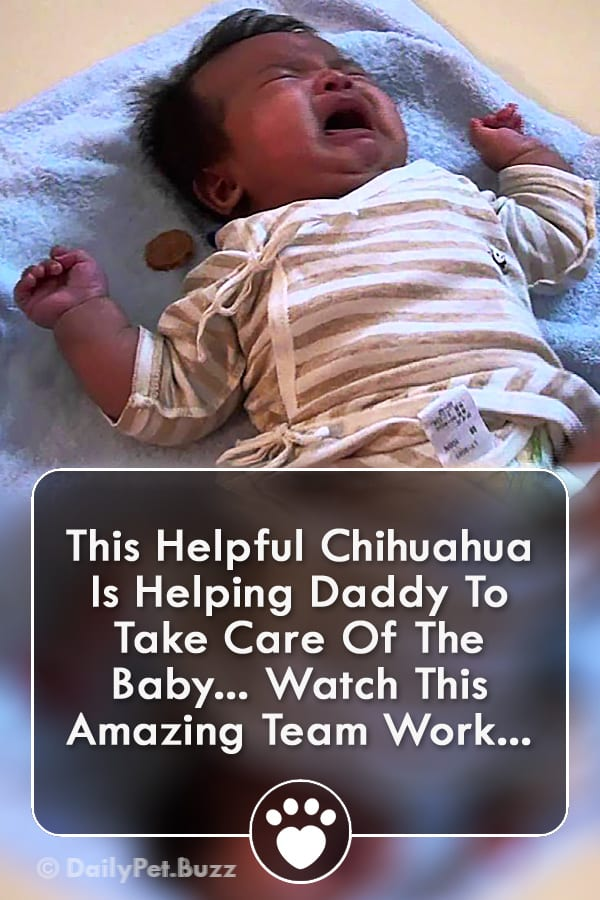 This Helpful Chihuahua Is Helping Daddy To Take Care Of The Baby... Watch This Amazing Team Work...
