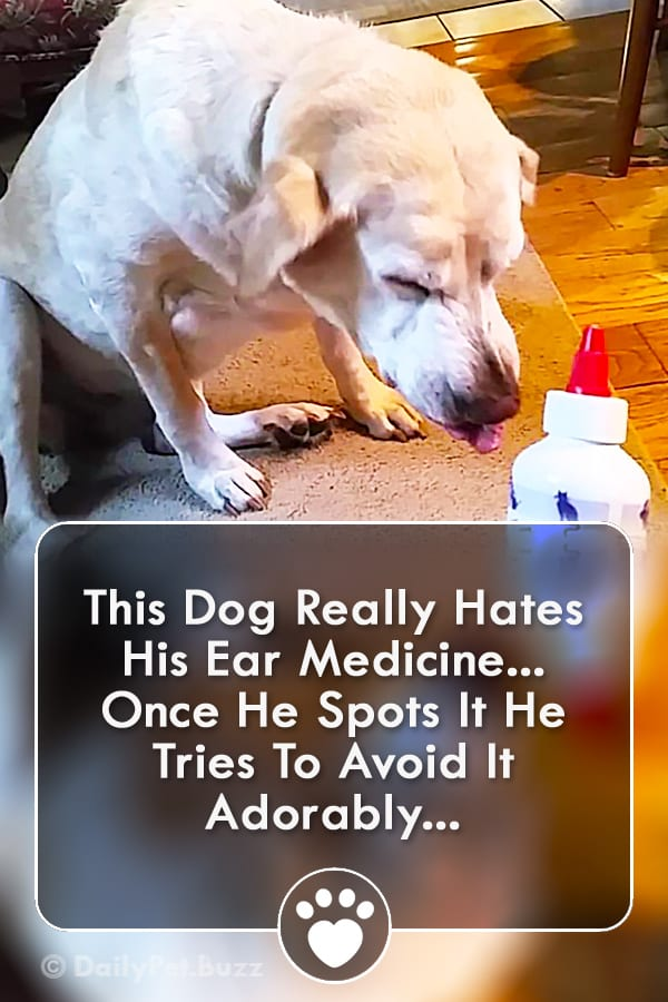 This Dog Really Hates His Ear Medicine... Once He Spots It He Tries To Avoid It Adorably...