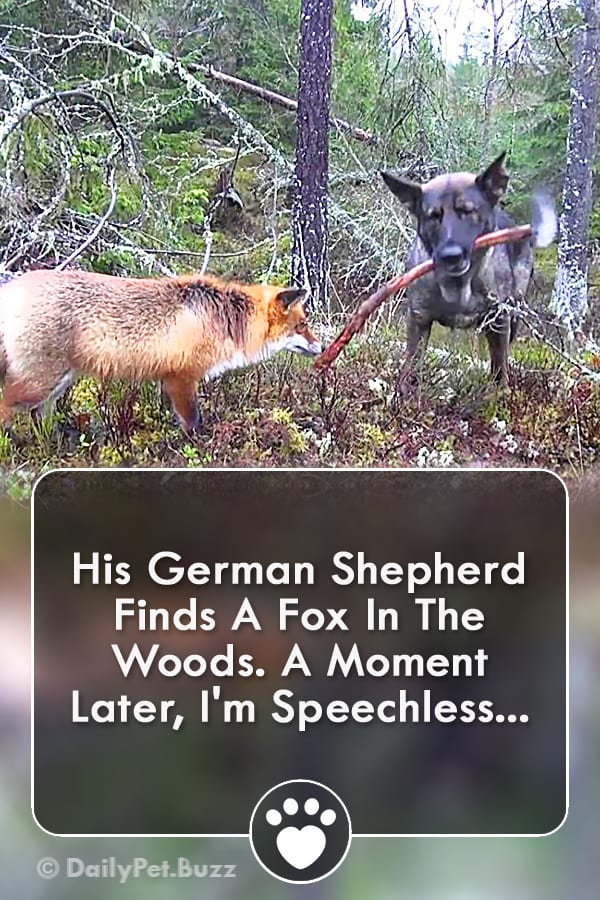 His German Shepherd Finds A Fox In The Woods. A Moment Later, I\'m Speechless...
