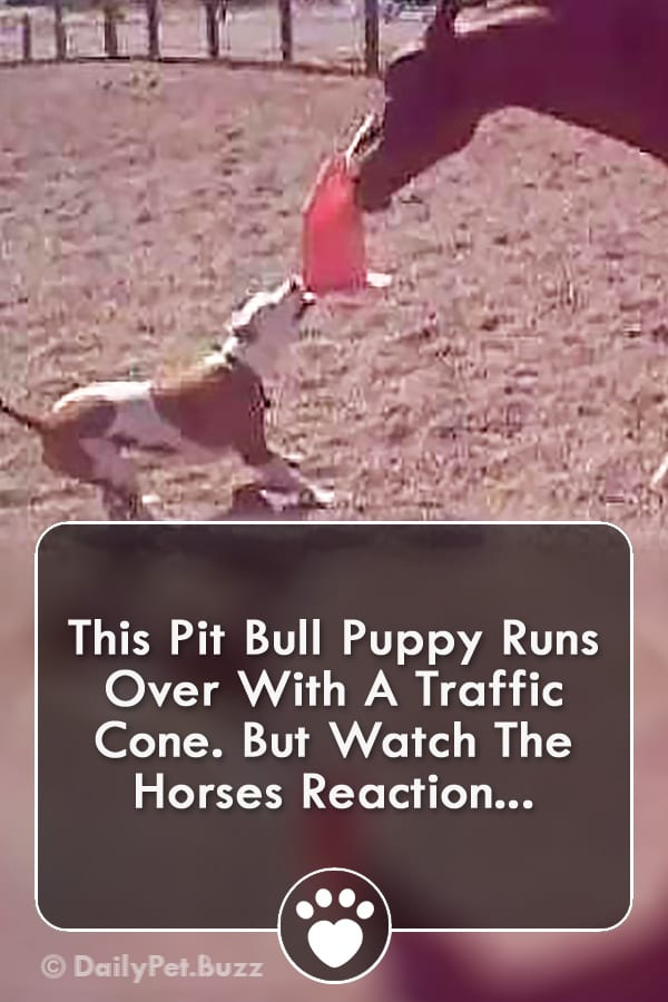 This Pit Bull Puppy Runs Over With A Traffic Cone. But Watch The Horses Reaction...