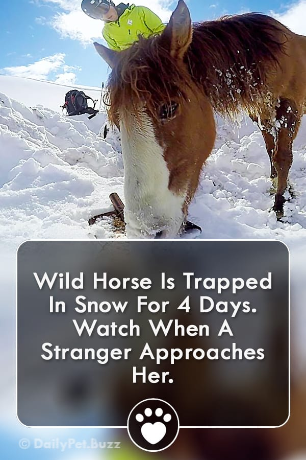 Wild Horse Is Trapped In Snow For 4 Days. Watch When A Stranger Approaches Her.