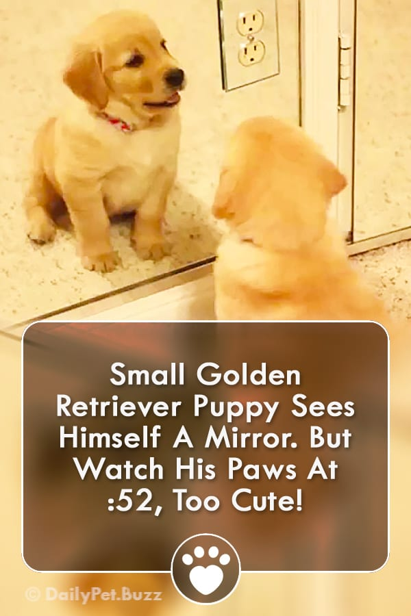 Small Golden Retriever Puppy Sees Himself A Mirror. But Watch His Paws At :52, Too Cute!