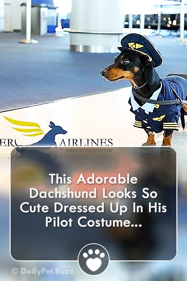 This Adorable Dachshund Looks So Cute Dressed Up In His Pilot Costume...