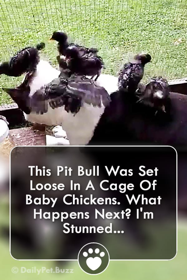 This Pit Bull Was Set Loose In A Cage Of Baby Chickens. What Happens Next? I\'m Stunned...