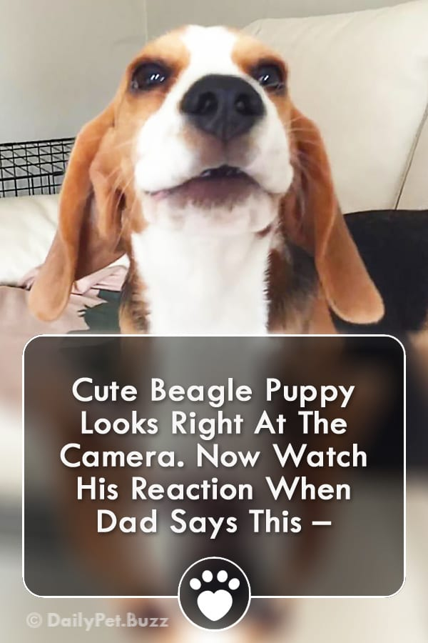 Cute Beagle Puppy Looks Right At The Camera. Now Watch His Reaction When Dad Says This –