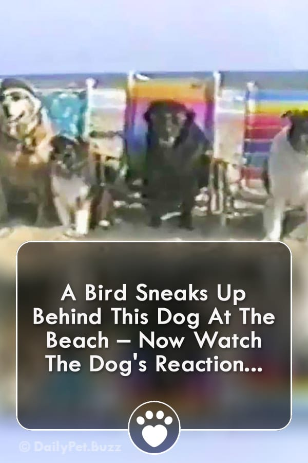 A Bird Sneaks Up Behind This Dog At The Beach – Now Watch The Dog\'s Reaction...