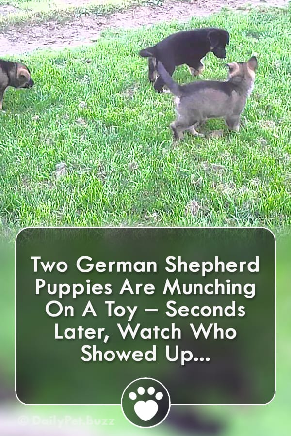 Two German Shepherd Puppies Are Munching On A Toy – Seconds Later, Watch Who Showed Up...