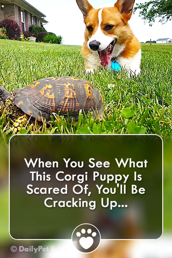 When You See What This Corgi Puppy Is Scared Of, You\'ll Be Cracking Up...