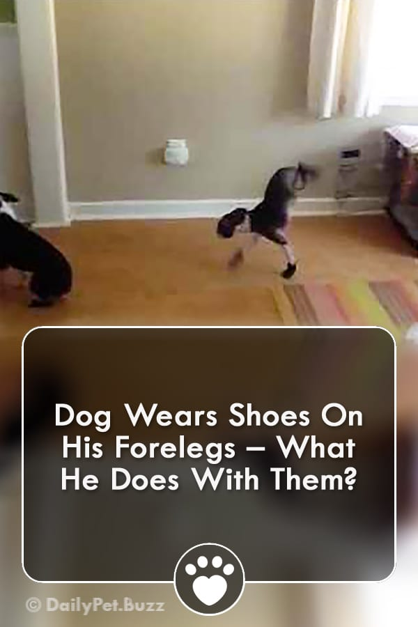 Dog Wears Shoes On His Forelegs – What He Does With Them?