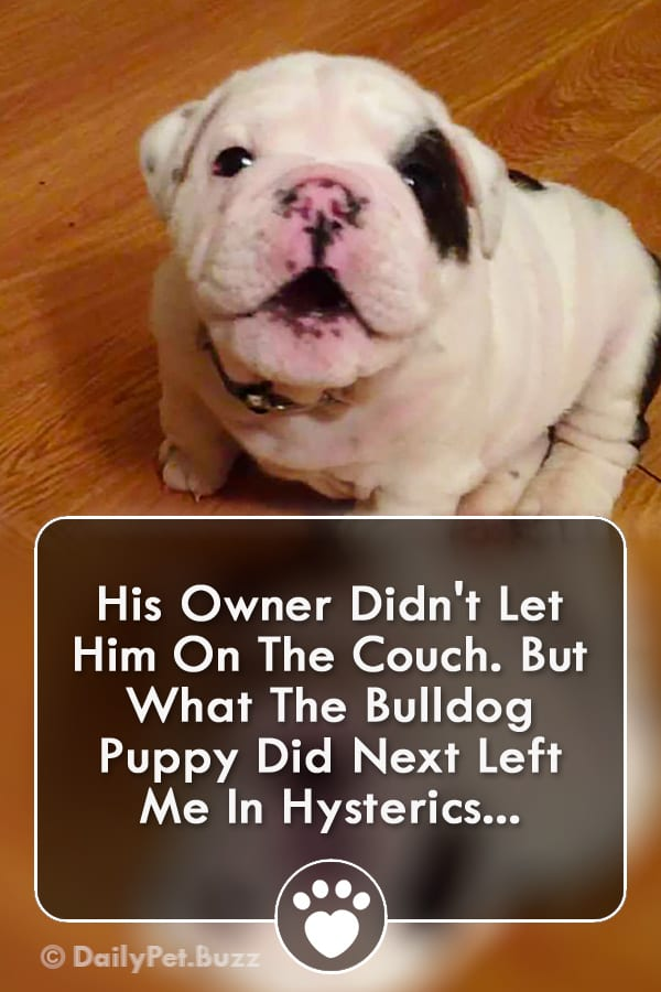 His Owner Didn\'t Let Him On The Couch. But What The Bulldog Puppy Did Next Left Me In Hysterics...
