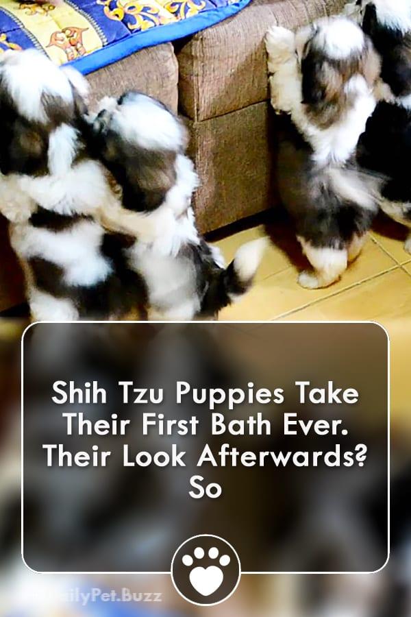 Shih Tzu Puppies Take Their First Bath Ever. Their Look Afterwards? So Cute!