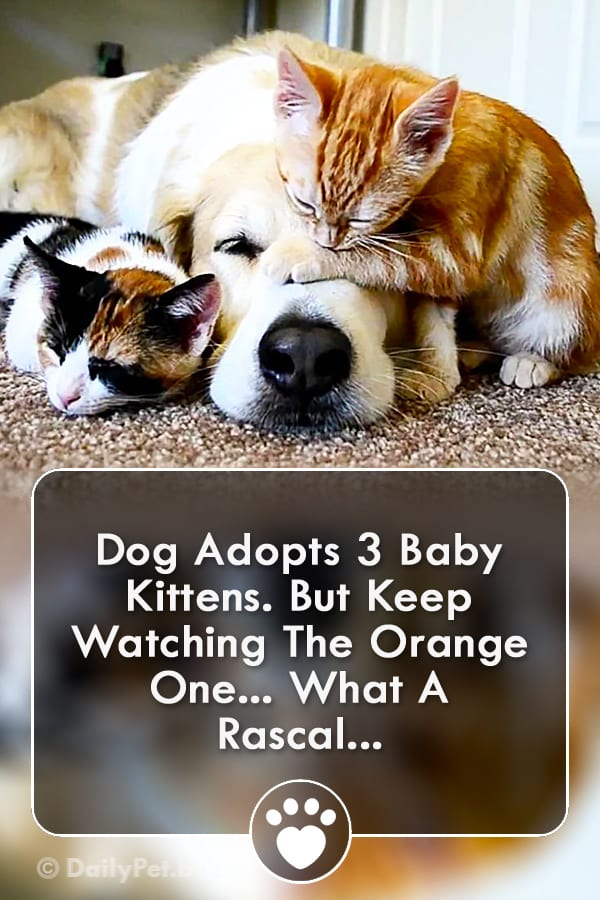 Dog Adopts 3 Baby Kittens. But Keep Watching The Orange One... What A Rascal...