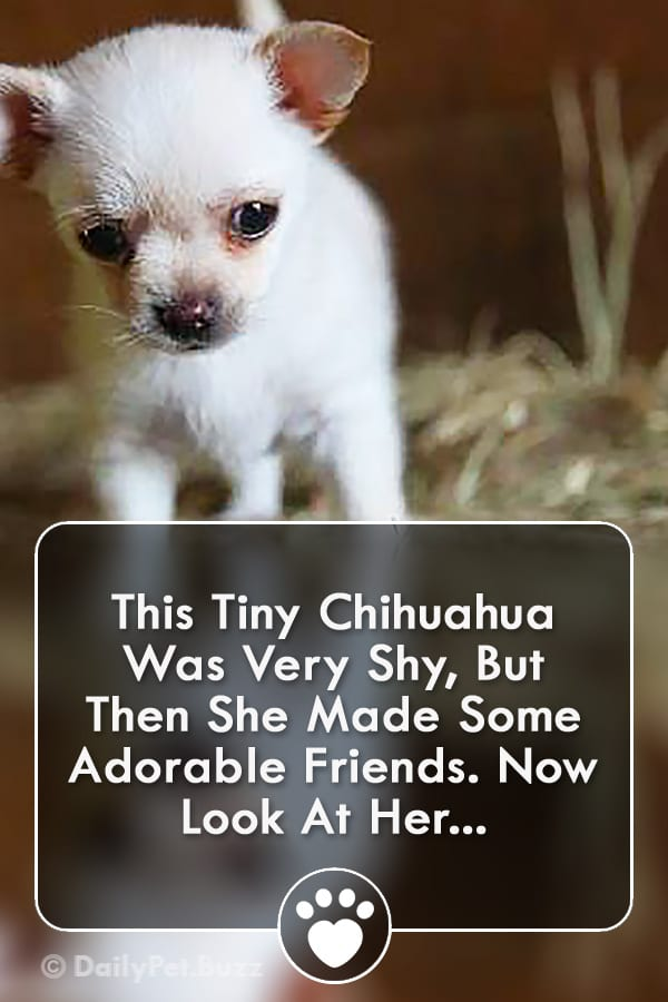 This Tiny Chihuahua Was Very Shy, But Then She Made Some Adorable Friends. Now Look At Her...