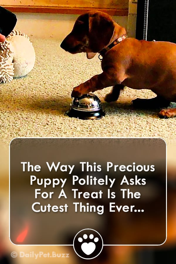 The Way This Precious Puppy Politely Asks For A Treat Is The Cutest Thing Ever...