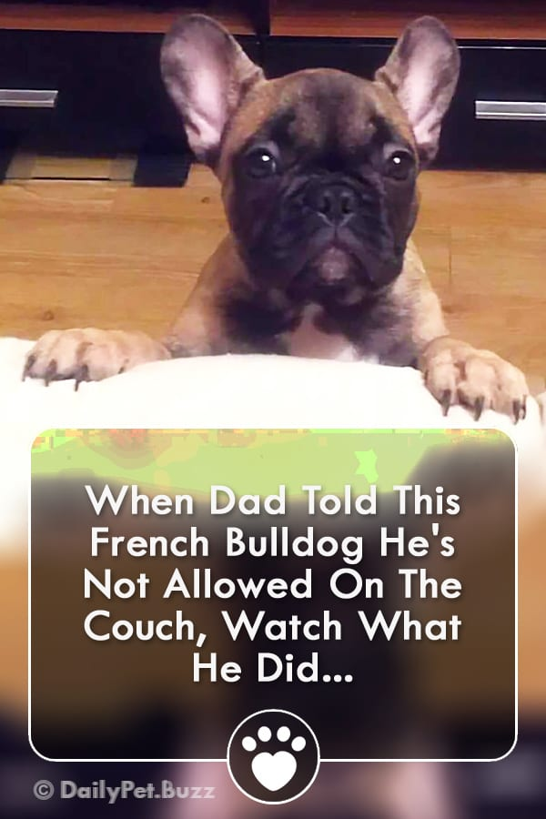 When Dad Told This French Bulldog He\'s Not Allowed On The Couch, Watch What He Did...