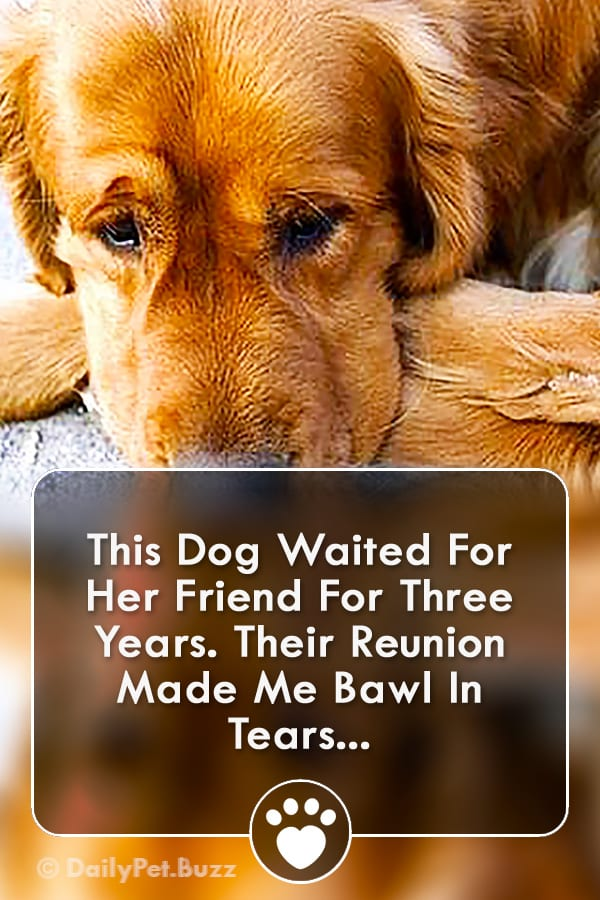 This Dog Waited For Her Friend For Three Years. Their Reunion Made Me Bawl In Tears...