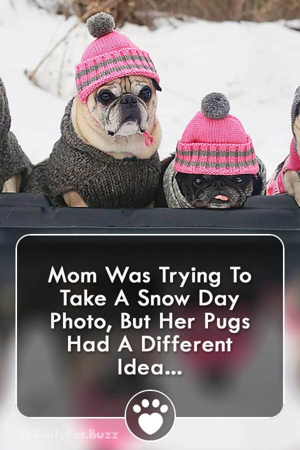 Mom Was Trying To Take A Snow Day Photo, But Her Pugs Had A Different Idea...