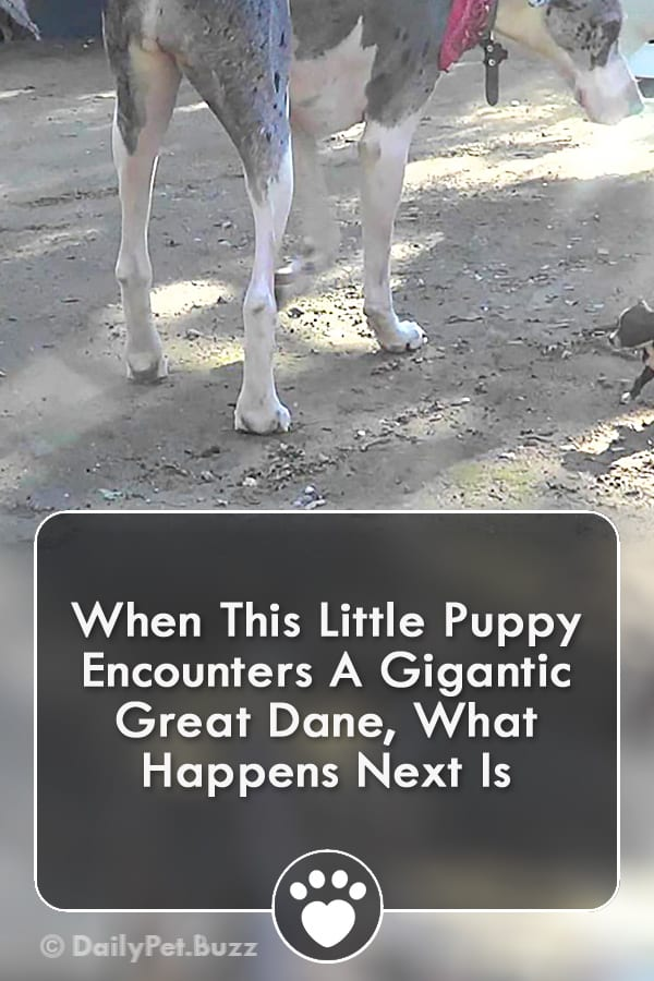 When This Little Puppy Encounters A Gigantic Great Dane, What Happens Next Is