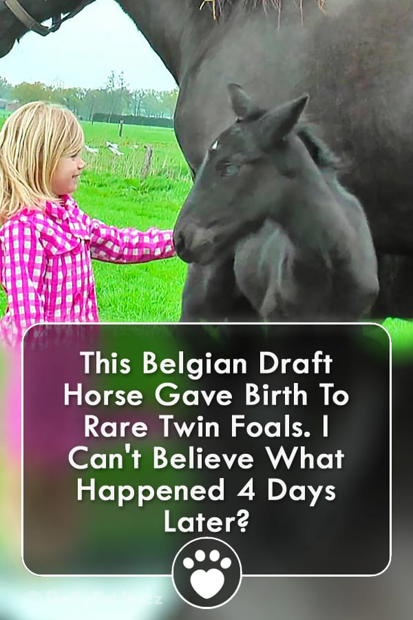 This Belgian Draft Horse Gave Birth To Rare Twin Foals. I Can\'t Believe What Happened 4 Days Later?