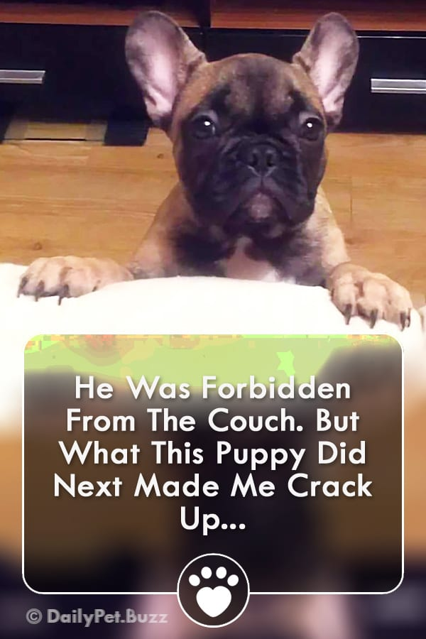 He Was Forbidden From The Couch. But What This Puppy Did Next Made Me Crack Up...