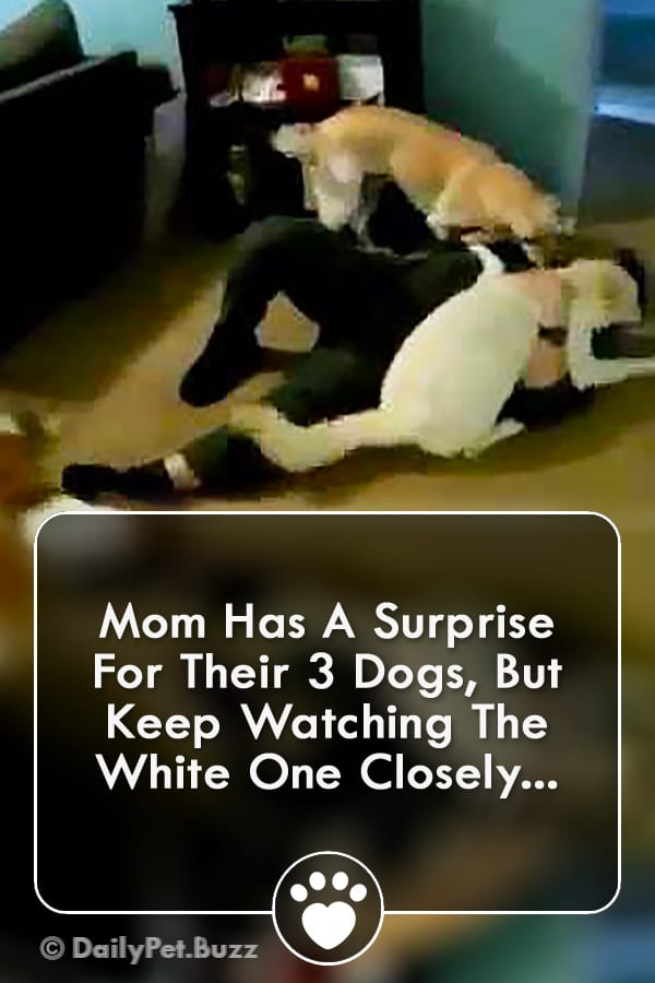 Mom Has A Surprise For Their 3 Dogs, But Keep Watching The White One Closely...