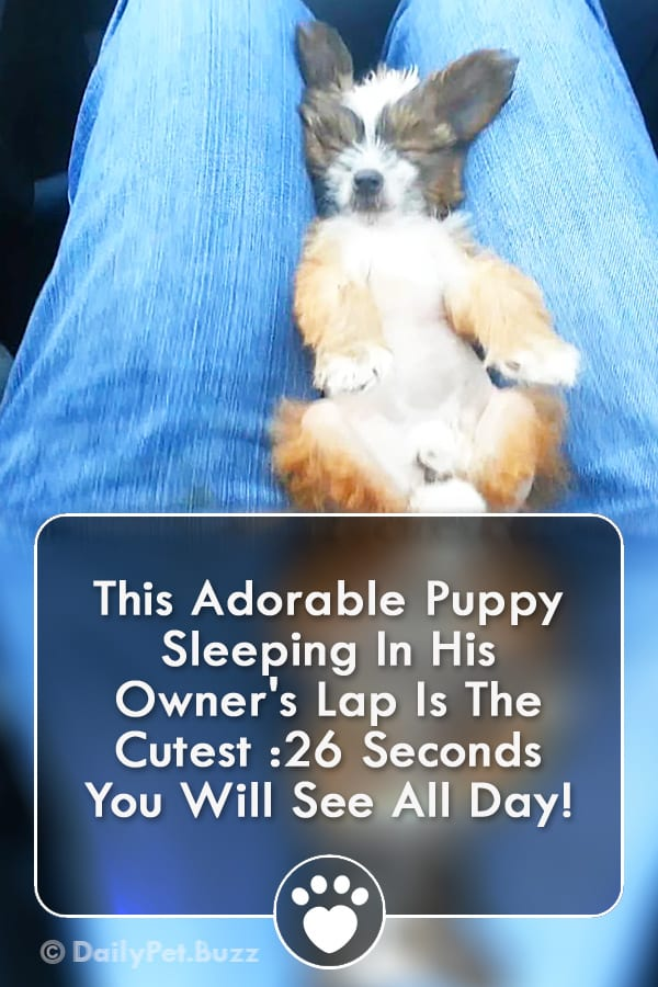 This Adorable Puppy Sleeping In His Owner\'s Lap Is The Cutest :26 Seconds You Will See All Day!